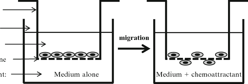 Schematic representation of the transwell migration assay