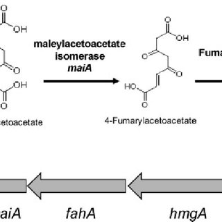 Pathway for the catabolism of homogentisic acid. (A