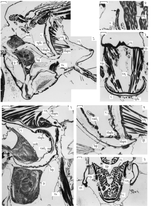 small resolution of cibarium and cephalic portion of stomodeum in bombyliidae hemipenthes maurus total view of sagittal section of head anterior side on the right 1