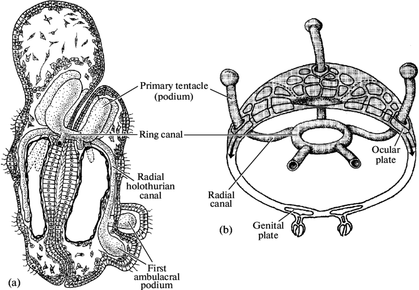 Ambulacral system of developing holothurian and sea urchin