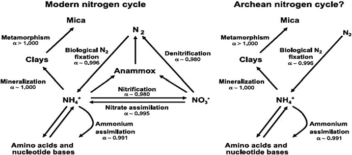 Left: A simplified modern nitrogen cycle with known