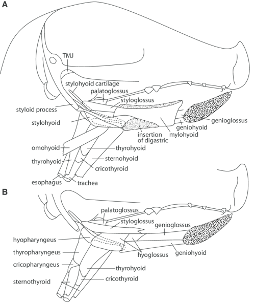 small resolution of sagittal section of head of a young pig with mandible removed to show underlying muscles at