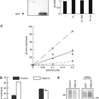 Rpn13 content influences rates of degradation of short