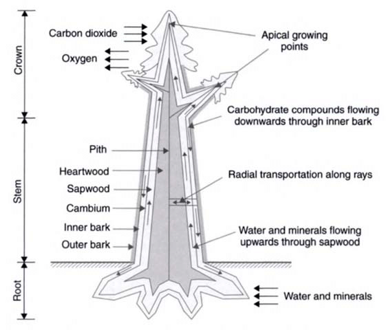 Main parts of a tree and their function, where carbon
