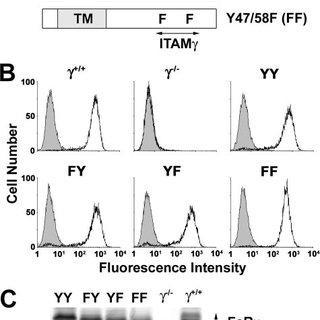 (PDF) Differential Dephosphorylation of the FcR
