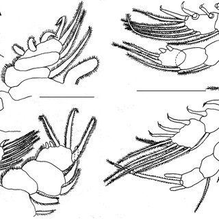 A: Antenna (0.10 mm); B: Maxilla (0.03 mm); C: Mandible (0