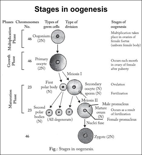 Define the oogenesis?