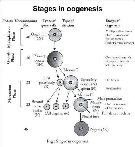 Define the oogenesis?