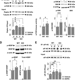 mtor functional activity is enhanced in young fragile x mice a association of mtor [ 850 x 1012 Pixel ]