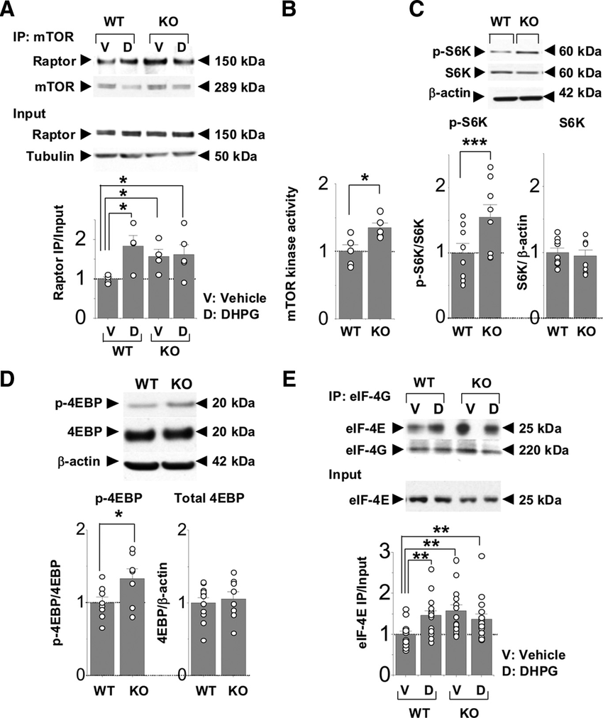 hight resolution of mtor functional activity is enhanced in young fragile x mice a association of mtor