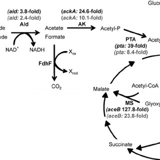Overview of the methanol oxidation pathway in C