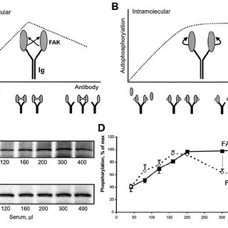 Different mechanisms of autophosphorylation of FAK ϩ and