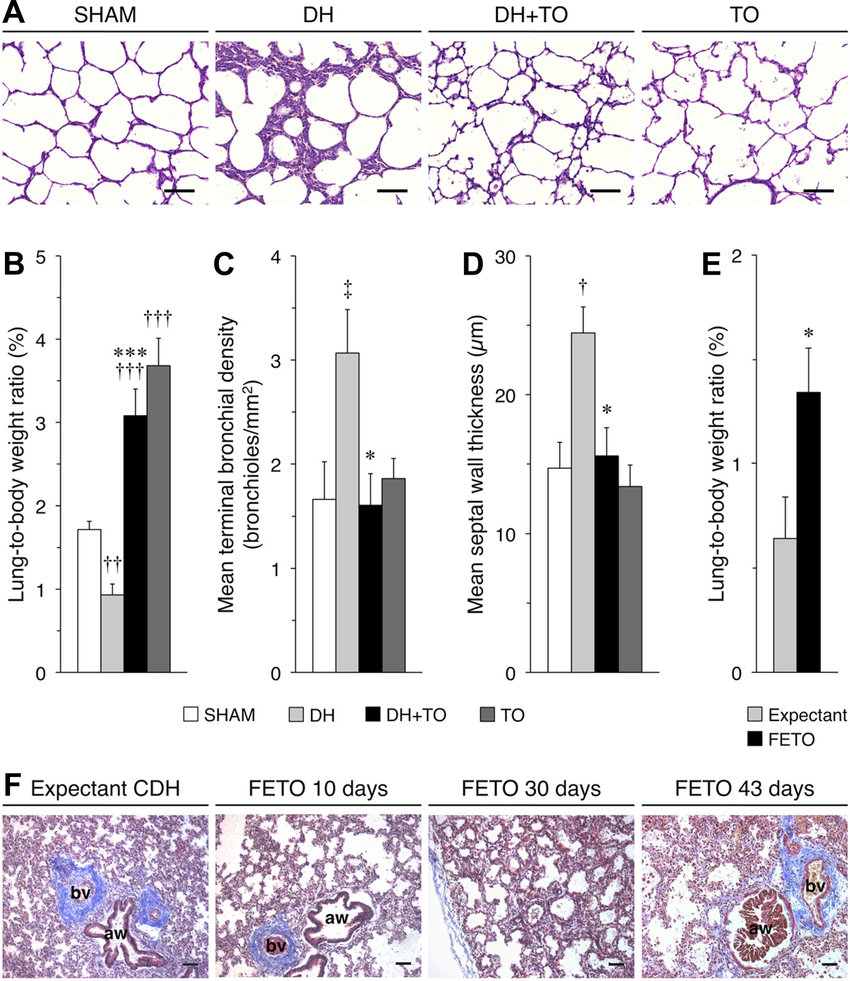 hight resolution of increased lung growth and improved airway morphology after tracheal occlusion a hematoxylin and eosin