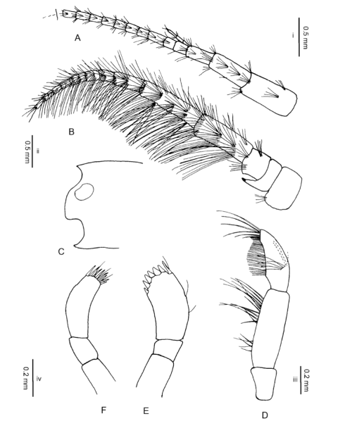 small resolution of gammarus hegmatanensis sp n holotype 18 mm from gardaneh asadabad spring w of hamadan a a1 and b a2 on scale i c h on scale ii