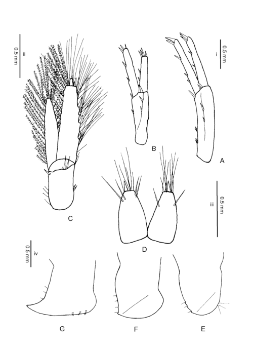 small resolution of gammarus hegmatanensis sp n holotype 18 mm from gardaneh download scientific diagram