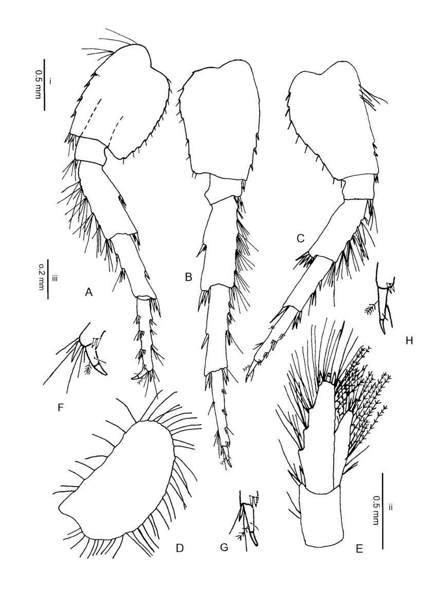 hight resolution of gammarus hegmatanensis sp n allotype 15 1 mm from gardaneh download scientific diagram