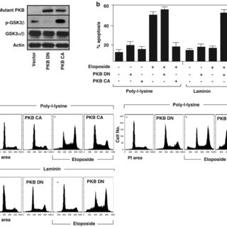ECM protects SCLC cells from etoposide-and radiation