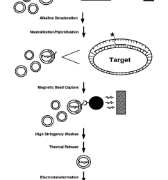 schematic representation of the magnetic bead capture procedure plasmids are represented as concentric circles oligonucleotides as solid lines  [ 850 x 1095 Pixel ]