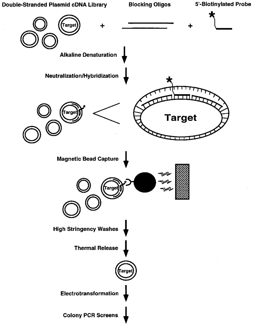 medium resolution of schematic representation of the magnetic bead capture procedure plasmids are represented as concentric circles oligonucleotides as solid lines