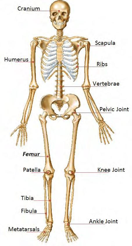 human bone structure diagram bmw e30 obc wiring 1 skeleton download scientific