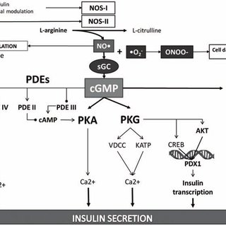 NO/cGMP signaling pathway and its possible mechanisms in