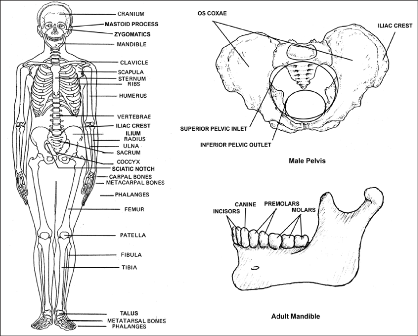 Illustration of skeletal anatomy. Diagnostic attributes of
