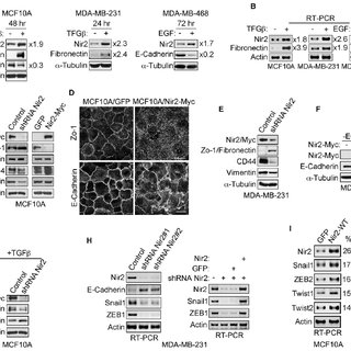 Nir2 positively regulates EMT in human mammary cell lines