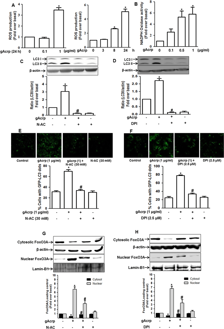 Role of ROS production in gAcrp-induced FoxO3A nuclear