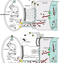 a schematic diagram showing agrobacterium infection of a dicot cell adapted from sheng and citovsky [ 850 x 1114 Pixel ]