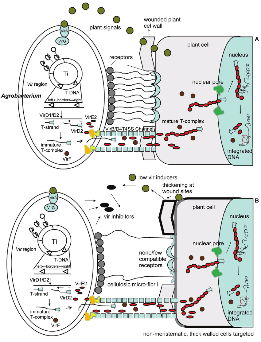 hight resolution of a schematic diagram showing agrobacterium infection of a dicot cell adapted from sheng and citovsky