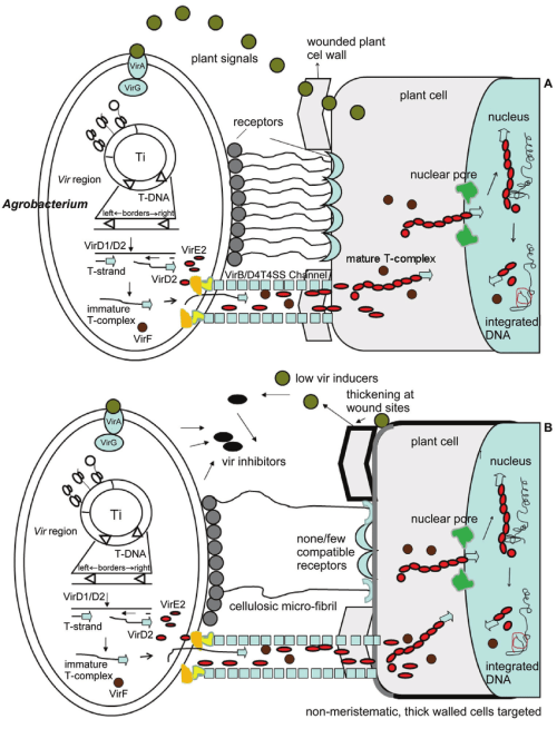 small resolution of a schematic diagram showing agrobacterium infection of a dicot cell adapted from sheng and citovsky