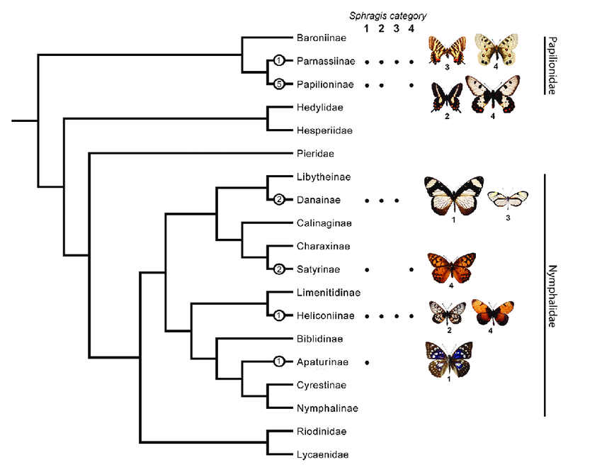 The occurrence of the sphragis in butterfly subfamilies