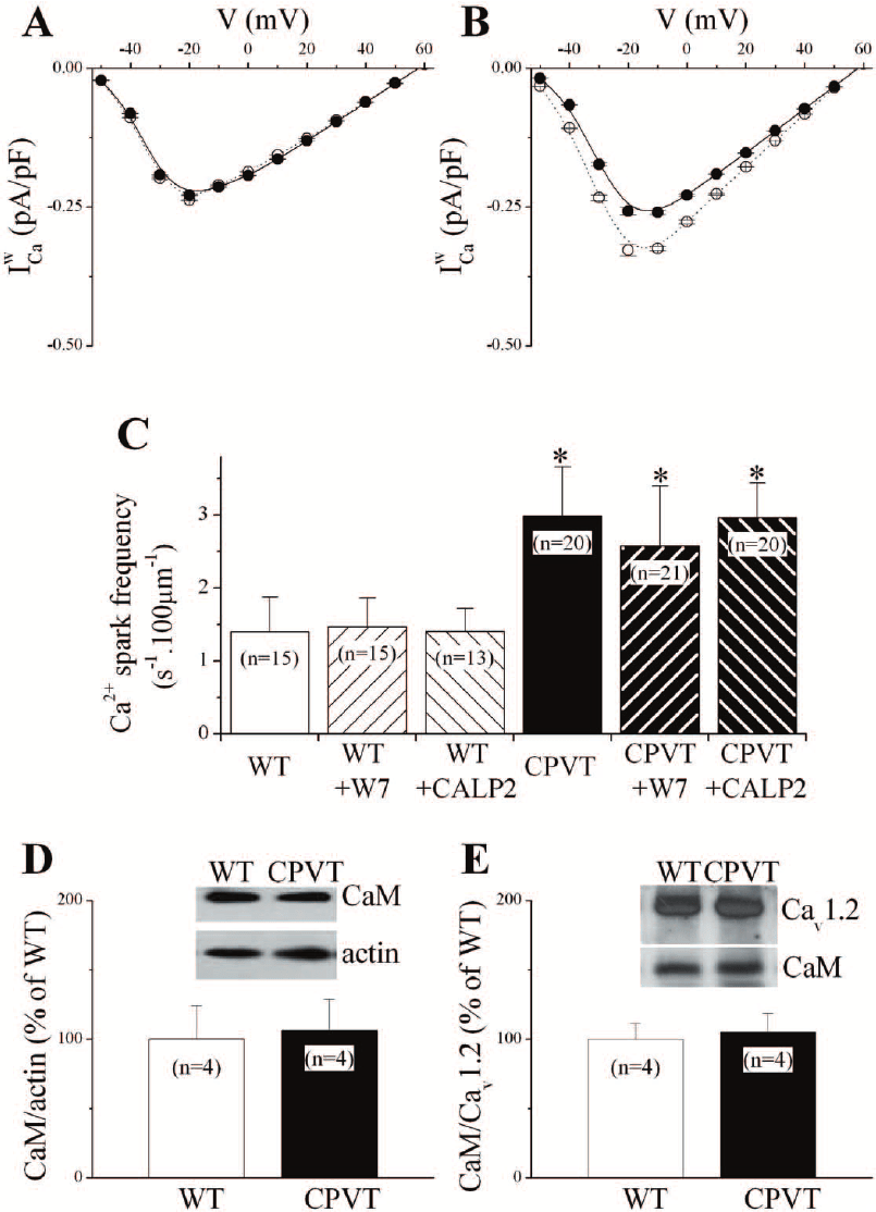 Calmodulin inhibition reduced I Ca W in WT cells. A & B