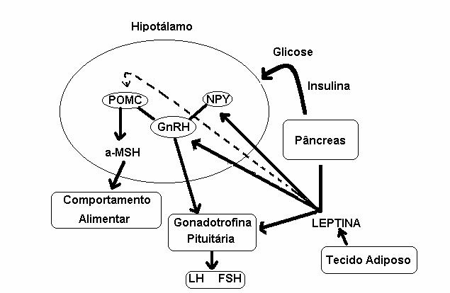 Representação esquemática dos efeitos da leptina no