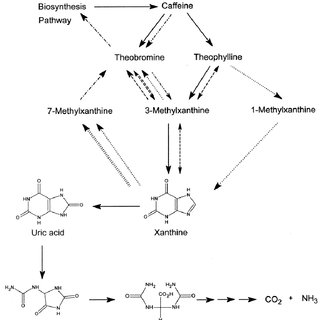 Figure 3 . Key pathways for the biosynthesis of caffeine