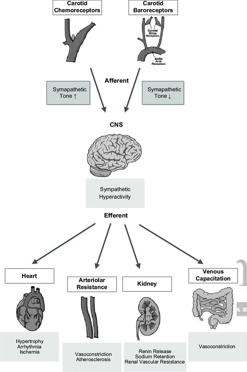 medium resolution of schematic representation of the carotid chemoreceptor and baroreceptor reflexes afferents relay through the brain stem