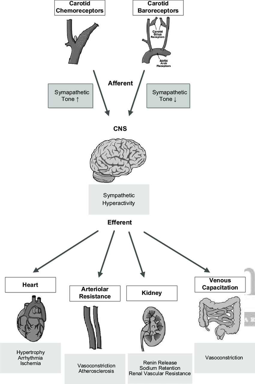 hight resolution of schematic representation of the carotid chemoreceptor and baroreceptor reflexes afferents relay through the brain stem