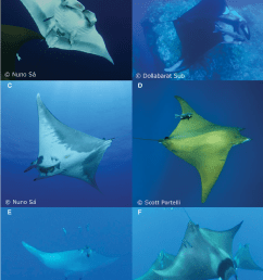 mobulids of the azores and their major external distinctive features manta ray ventral diagram [ 841 x 1051 Pixel ]