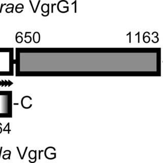 The Francisella pathogenicity island (FPI). A schematic