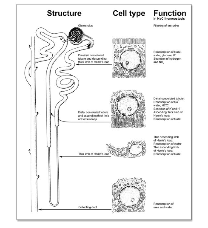 medium resolution of structural and functional organization of the adult nephron the nephron is organized in distinct structural