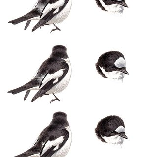 (PDF) Atlas Pied Flycatcher: variability of identification