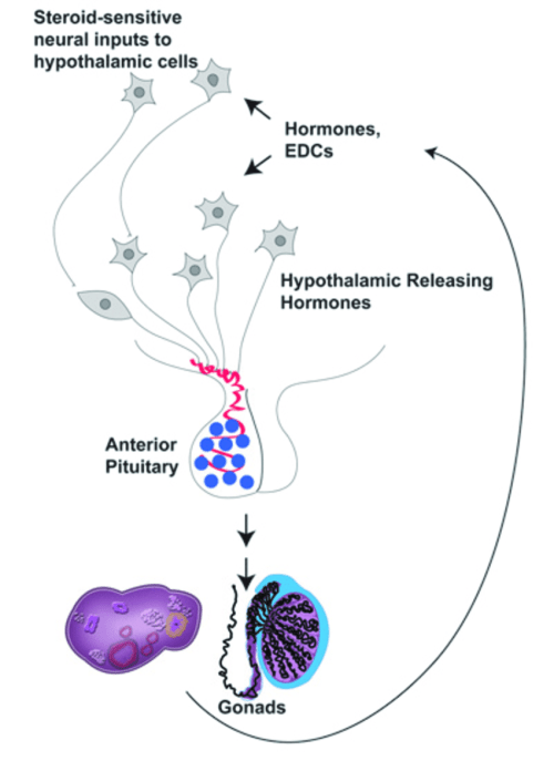 small resolution of the hypothalamic pituitary gonadal hpg axis the hpg axis of mammals