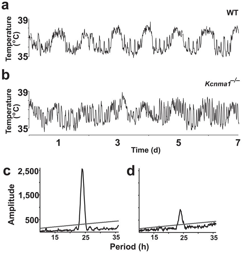 Erratum: BK calcium-activated potassium channels regulate