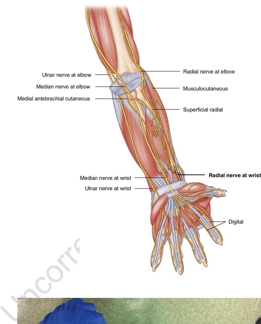 forearm bones diagram 2004 pontiac grand am ignition wiring 3 anatomy image by springer download scientific