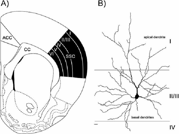 (A) SCHEMATIC DRAWING OF A CORONAL SECTION THROUGH THE RAT