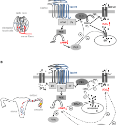 working model illustrating a possible functional role of taste receptor signaling in taste cells and spermatozoa [ 850 x 991 Pixel ]