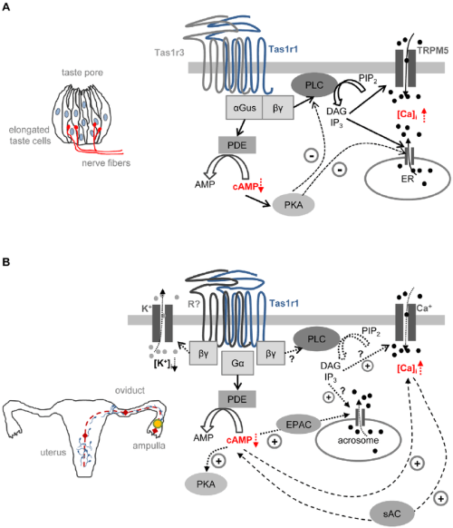 small resolution of working model illustrating a possible functional role of taste receptor signaling in taste cells and spermatozoa