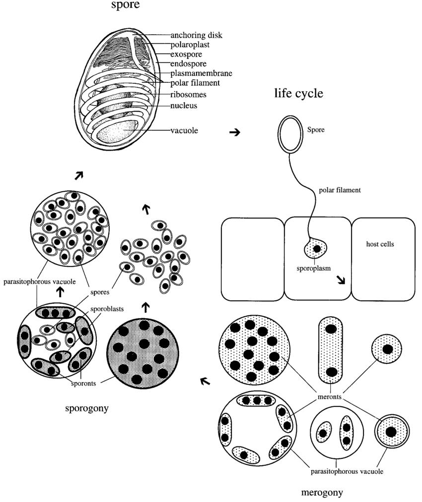 Diagram of a microsporidian spore and representative life
