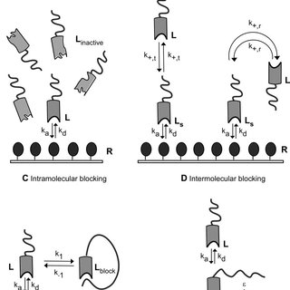 Comparison of the binding kinetics of the PEGylated and
