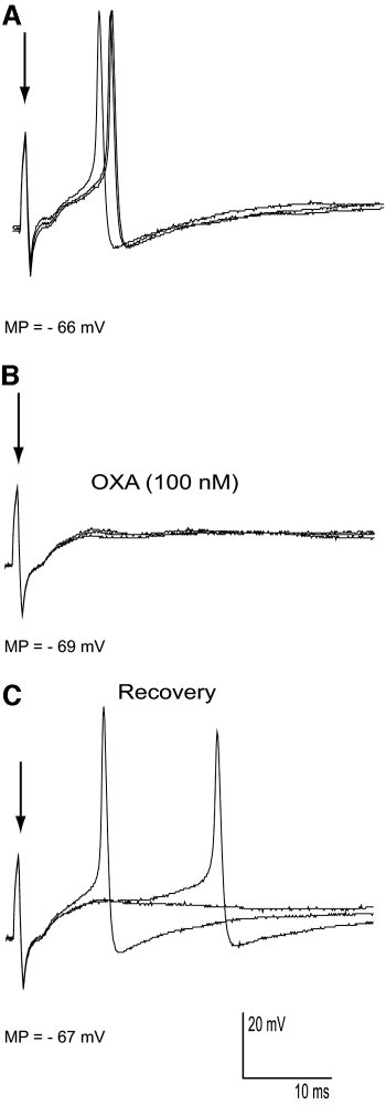 Effect of OXA on mitral cell responses evoked by olfactory
